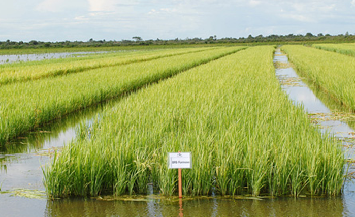 Rice_Field.png
